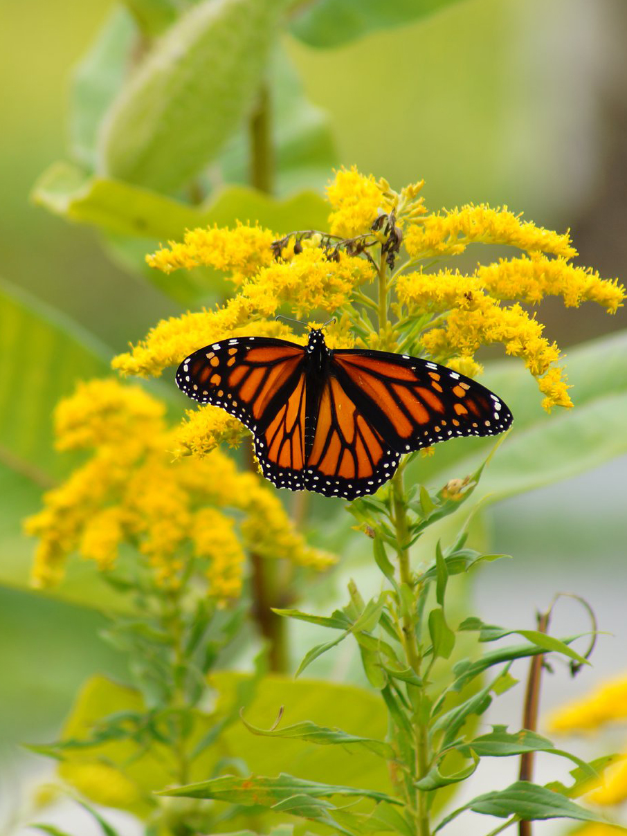 Monarch Butterfly on Golden Rod