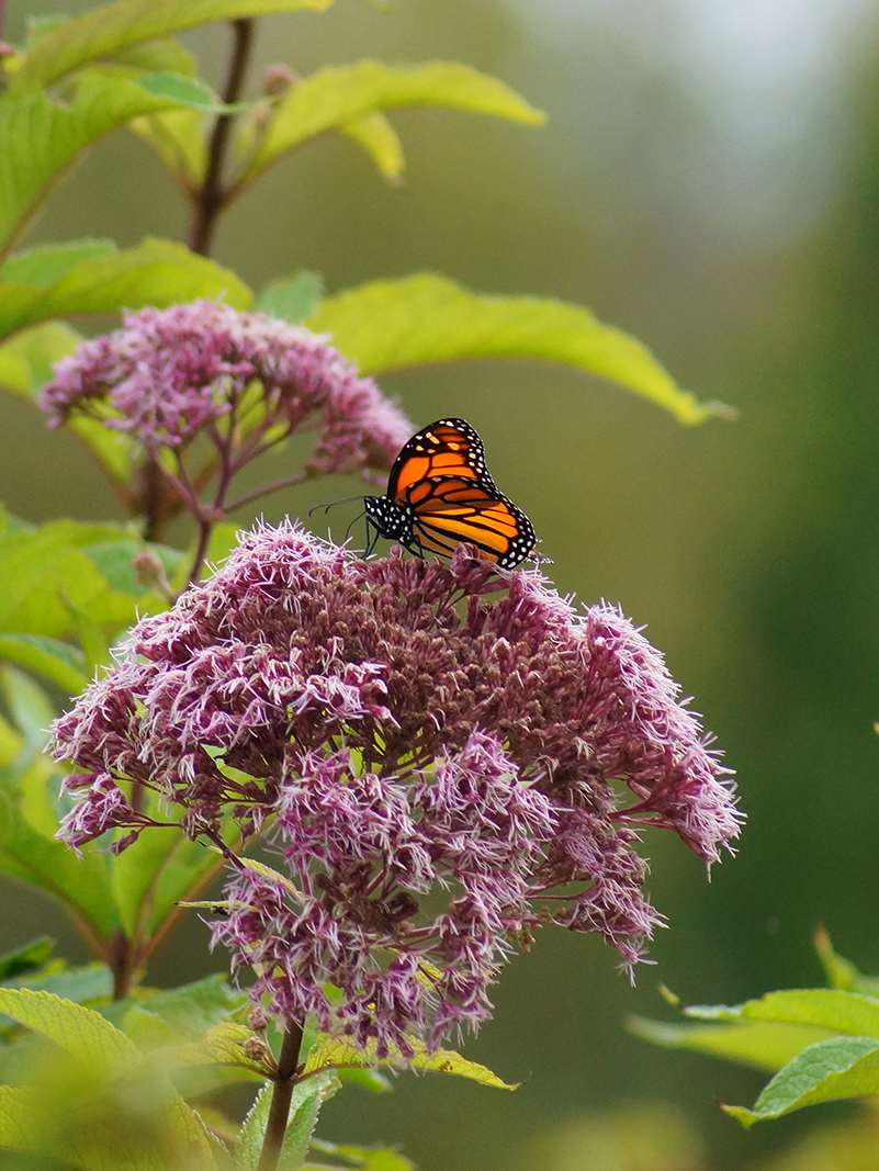 Monarch Butterfly resting on flowering plant