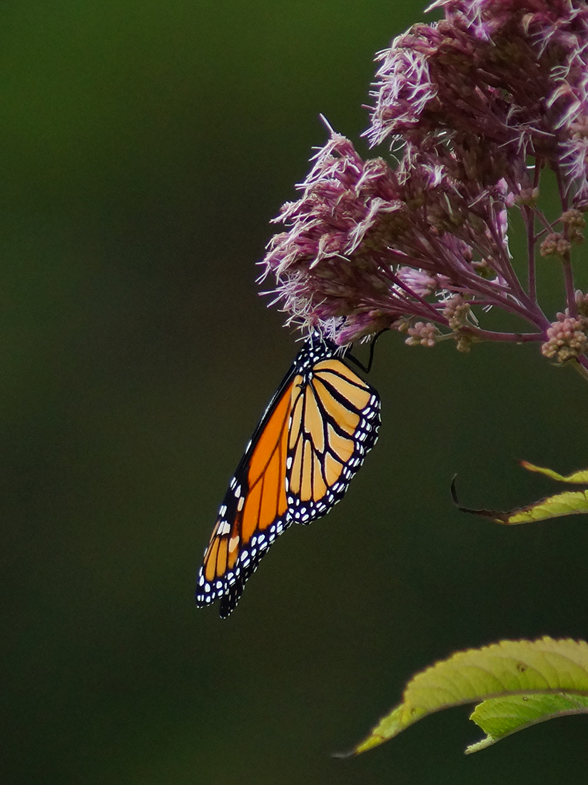 Monarch Butterfly hanging from flowering plant