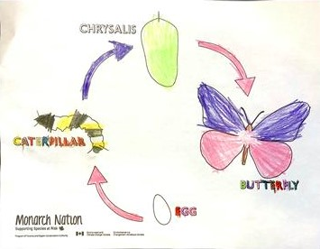 Butterfly Lifecycle coloured by a 4 year old