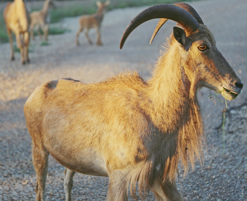 exotic goat standing in road