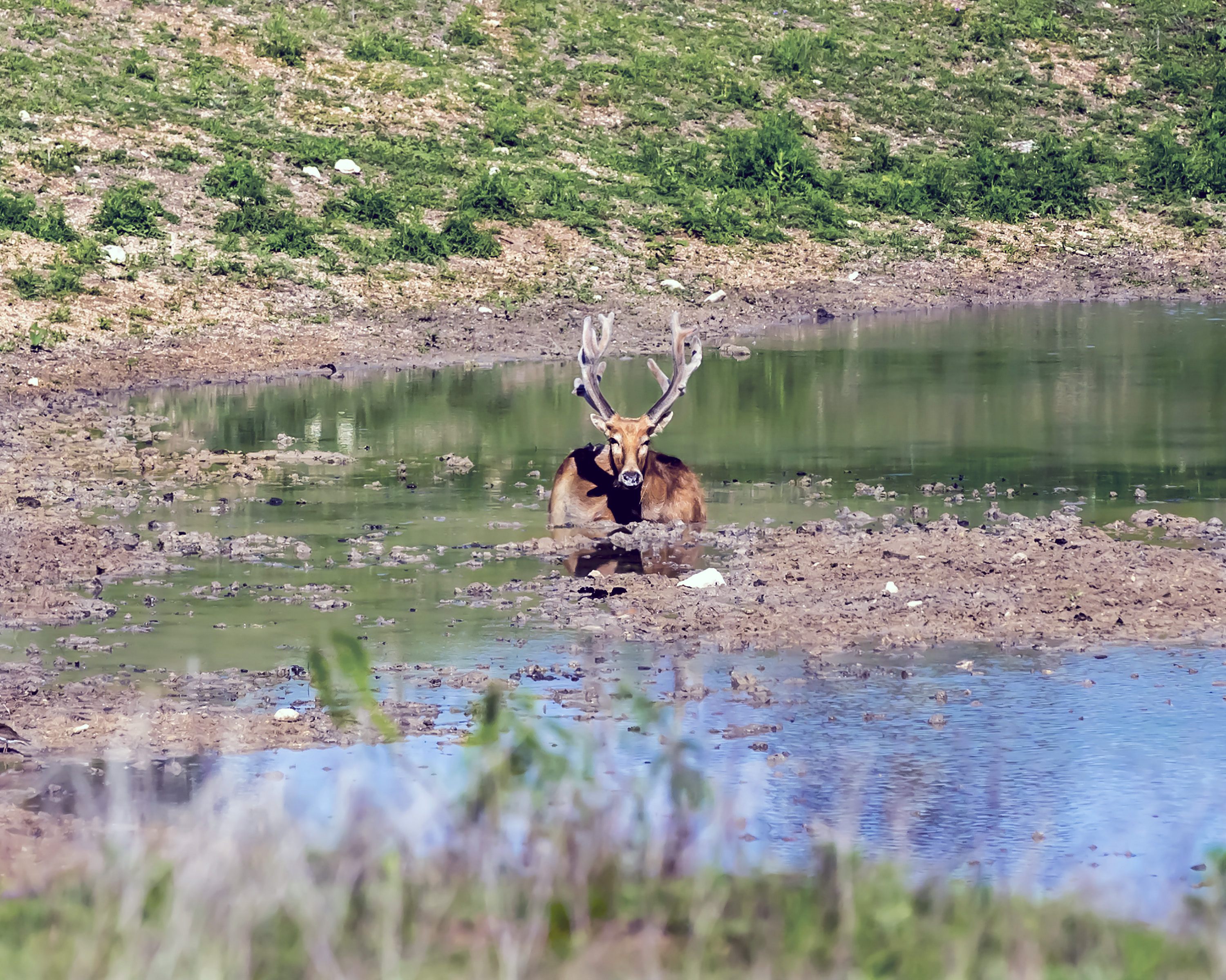 exotic deer with large antlers taking a swim in a pond