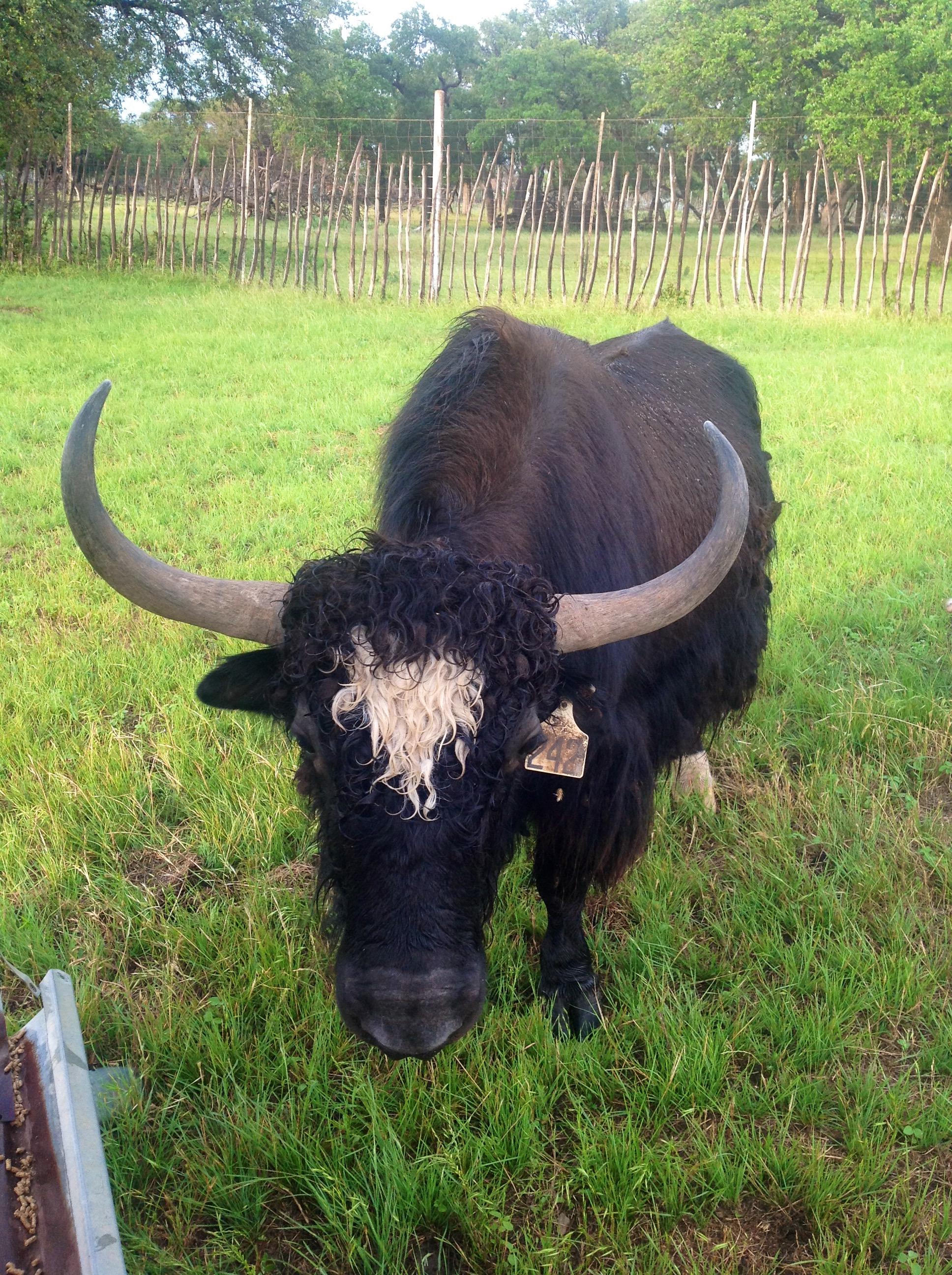 black buffalo facing the camera