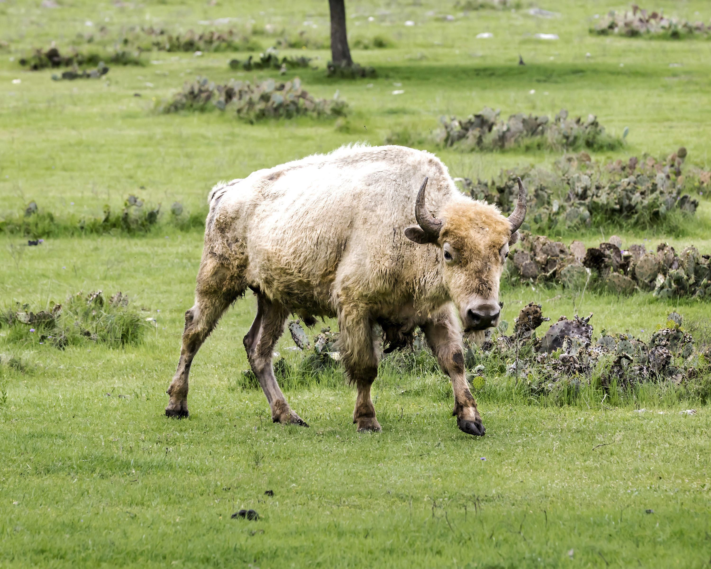 white buffalo walking through field