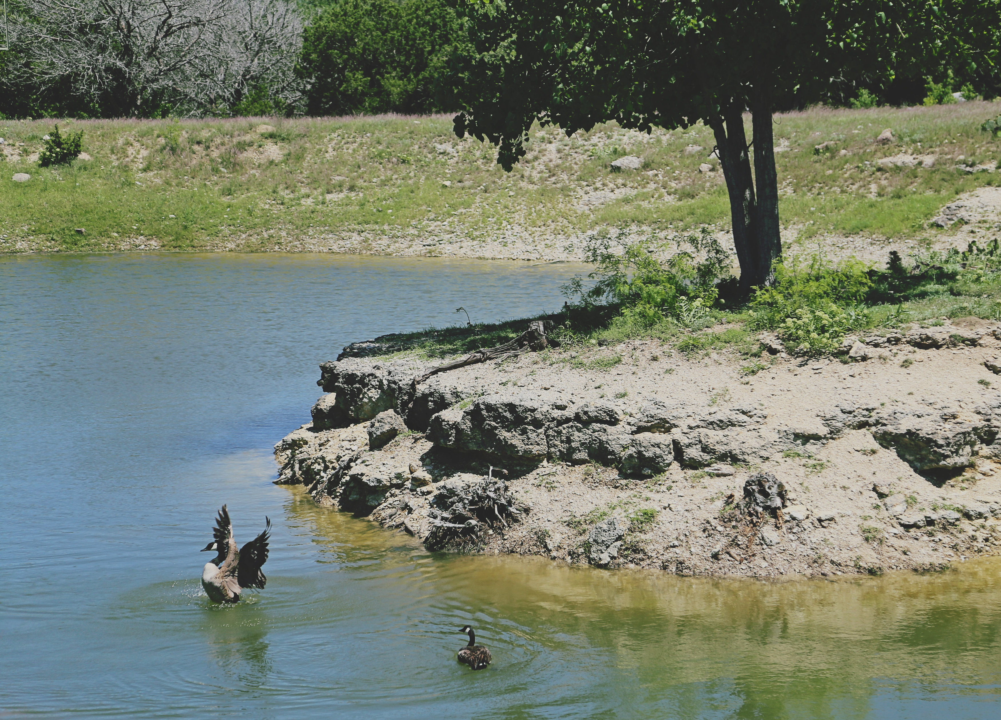 two geese bathing in a pond
