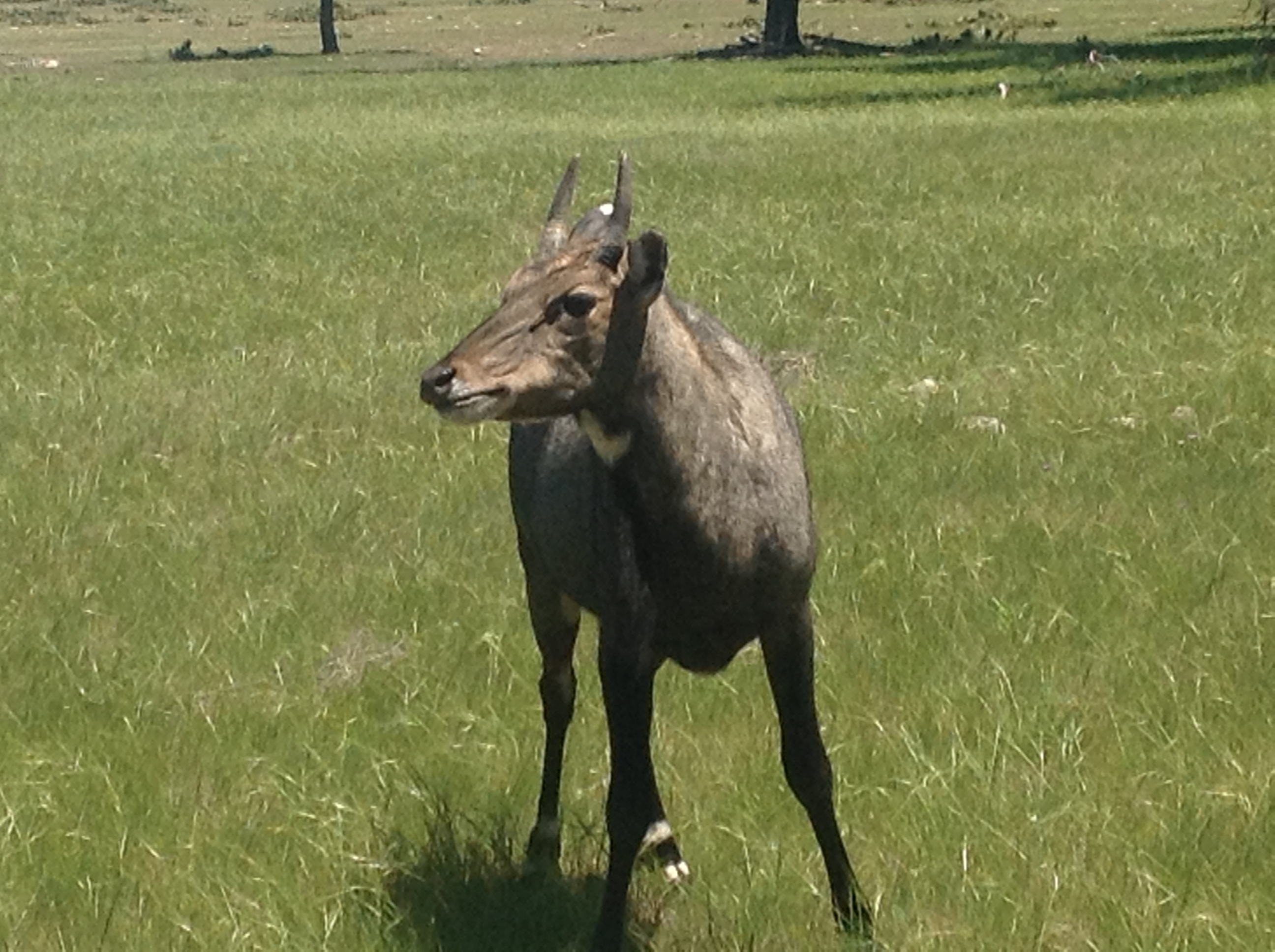 young nilgai looking to left of camera