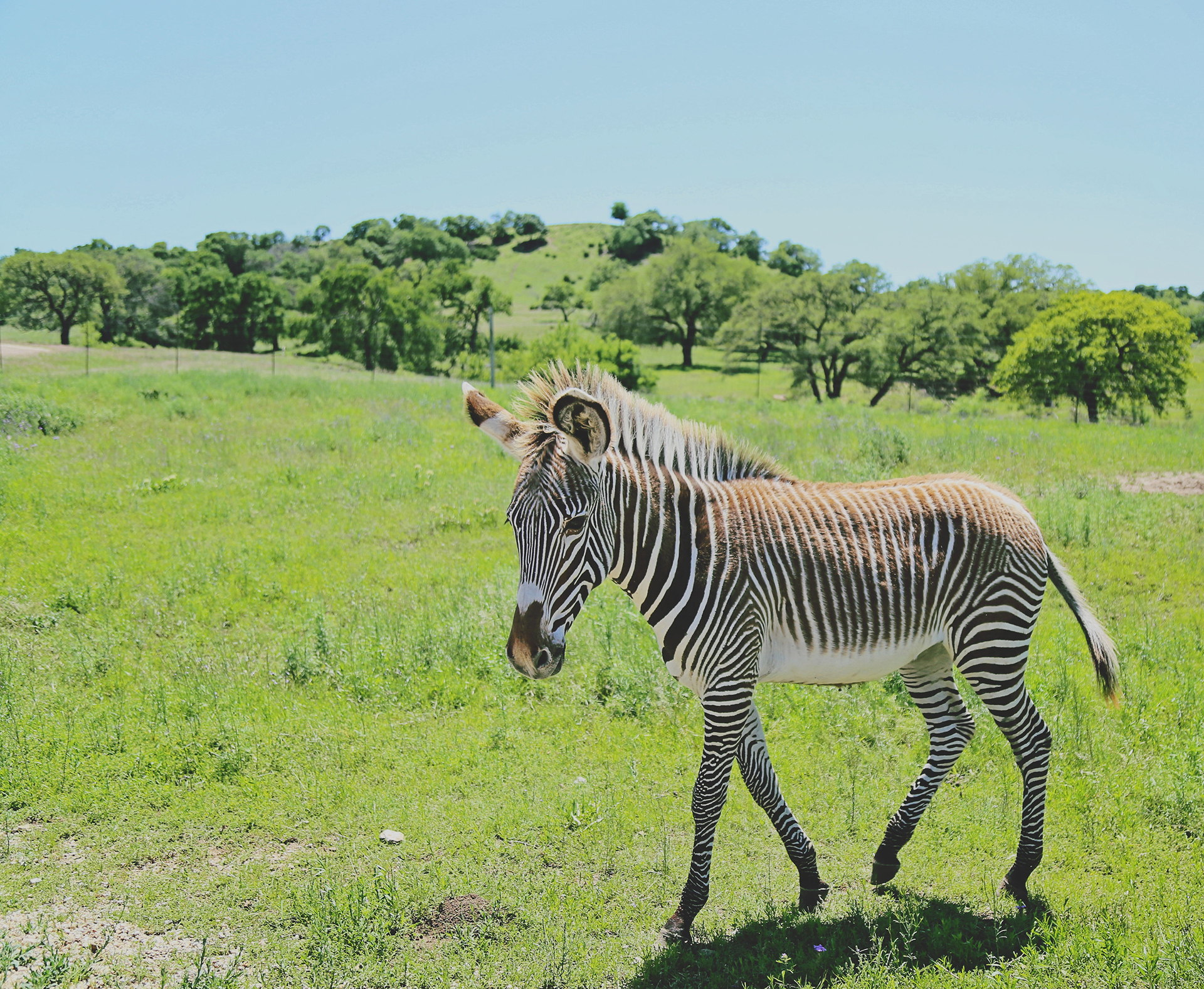 young zebra walking in grass