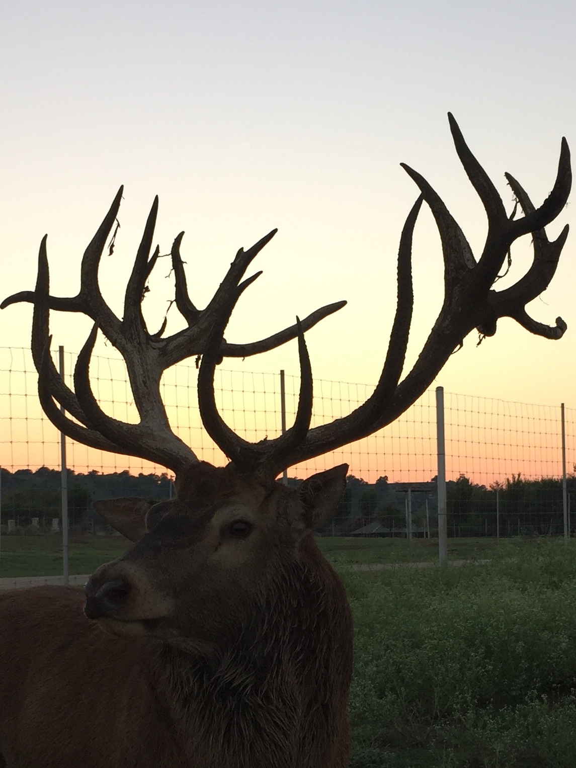 exotic deer with large antlers in the sunset