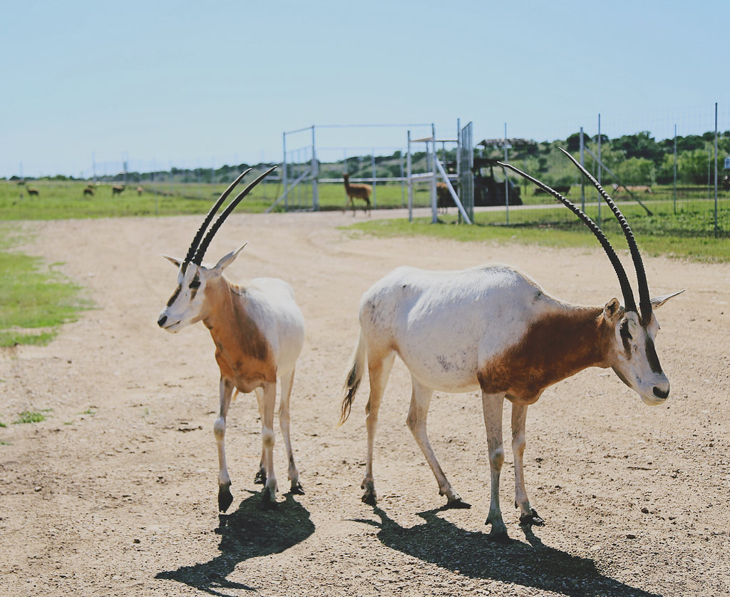 two scimitar oryx standing on a dirt road
