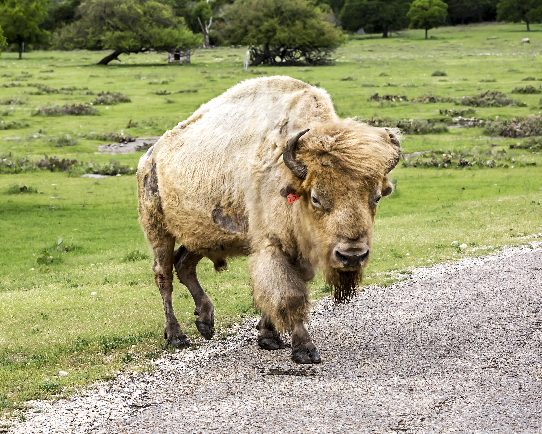 white buffalo walking across road