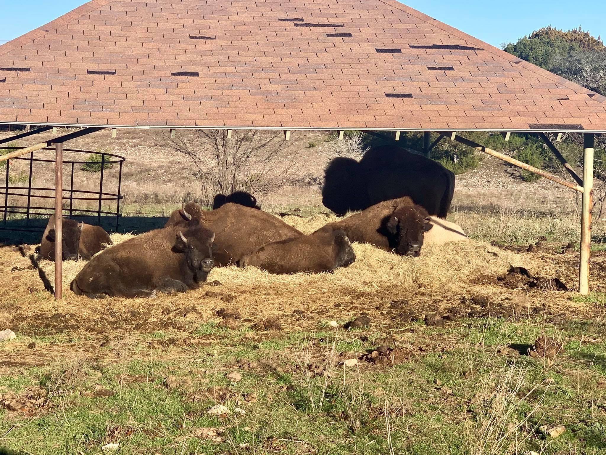 bison resting under shelter