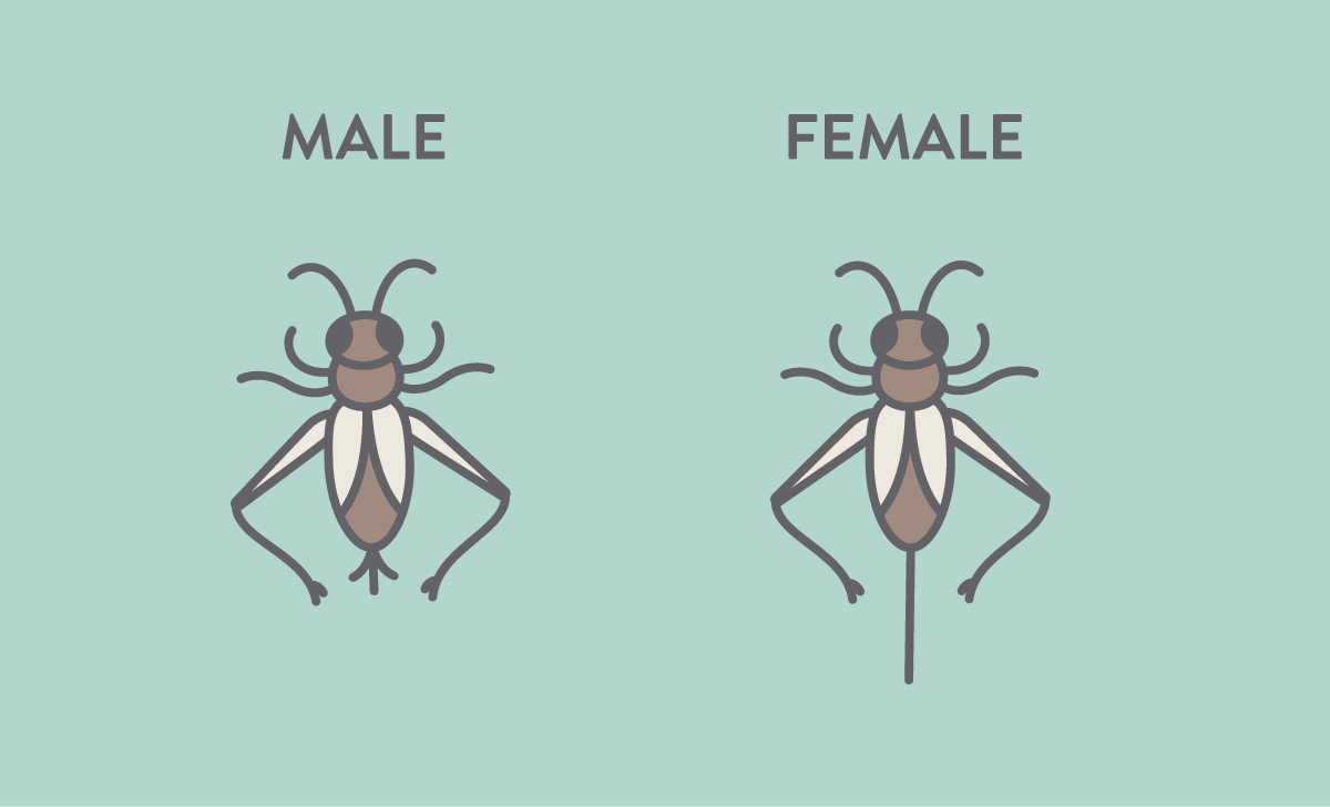 Simple illustration showing the difference between male and female crickets