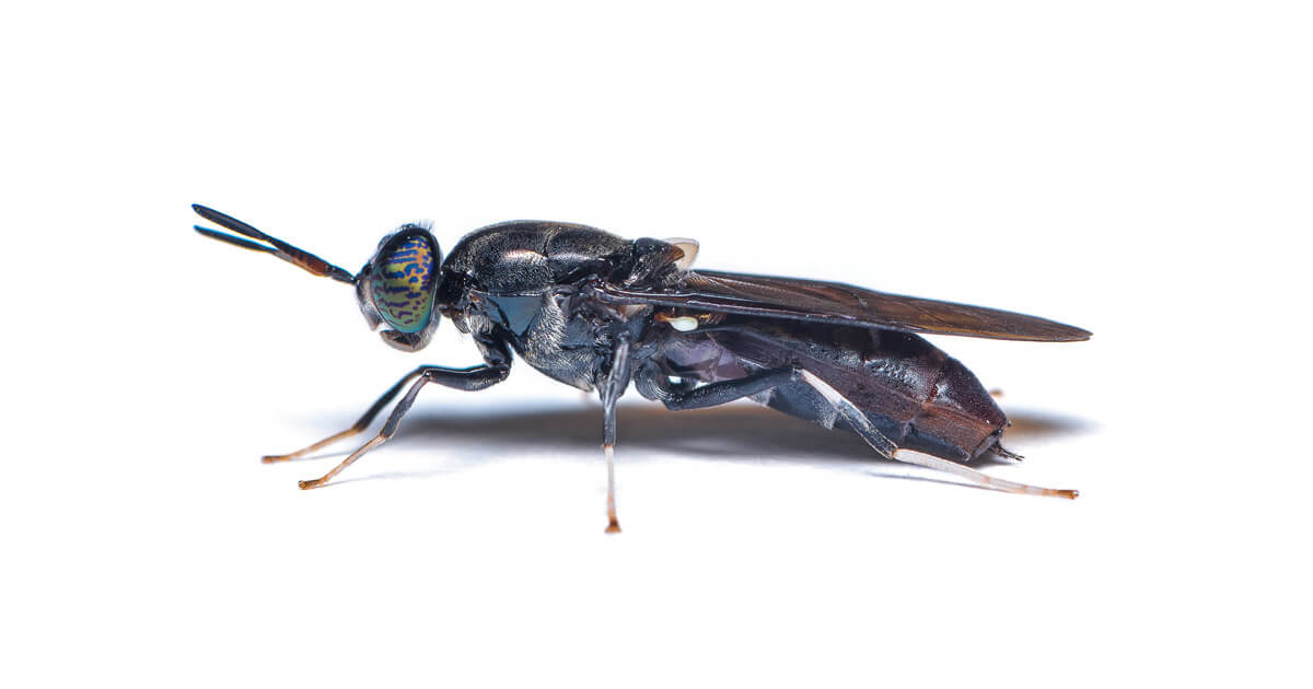 Black soldier fly - hermetia ilucens