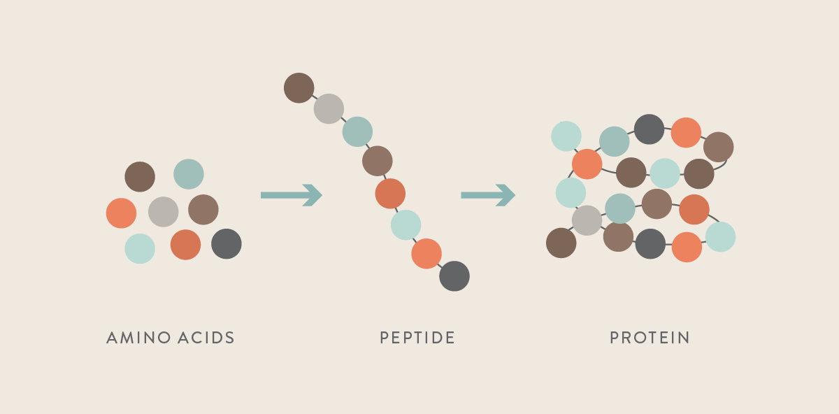 amino acids, peptides and protein