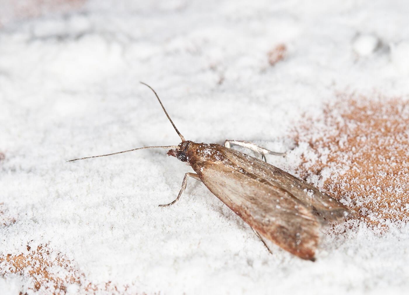 Moth infestation in flour