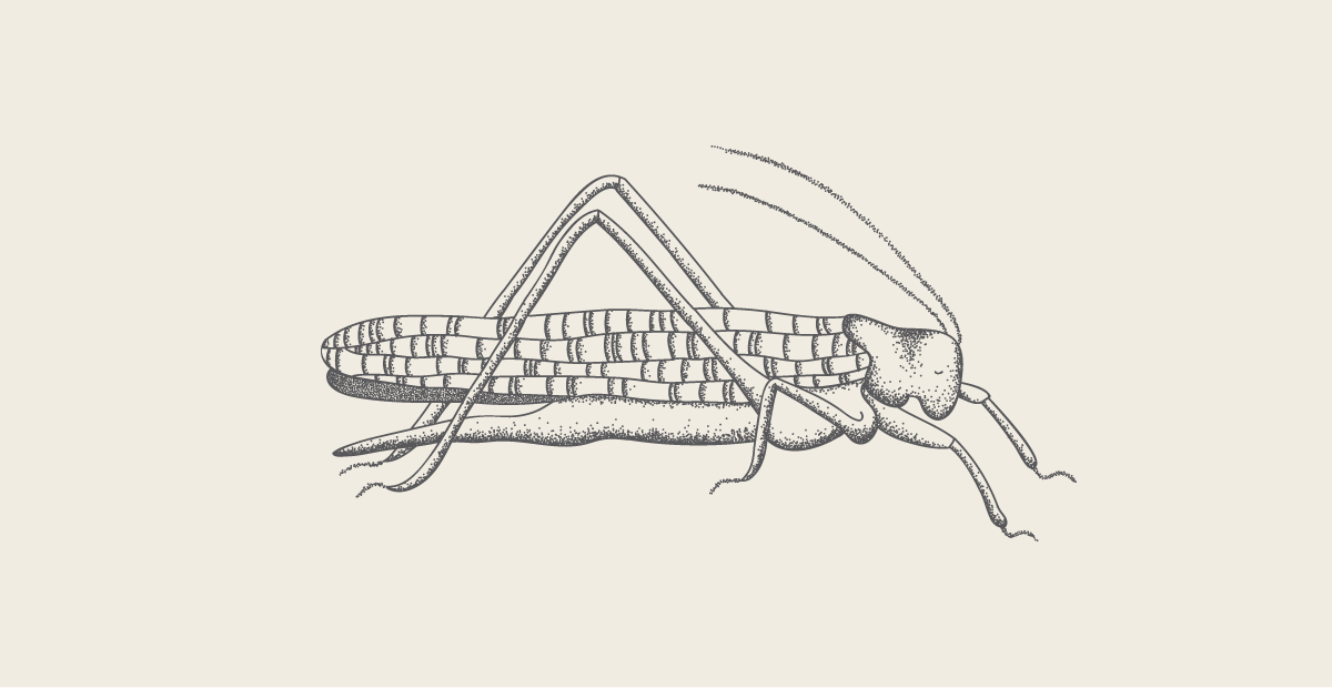 Grasshopper illustration | Crickster
