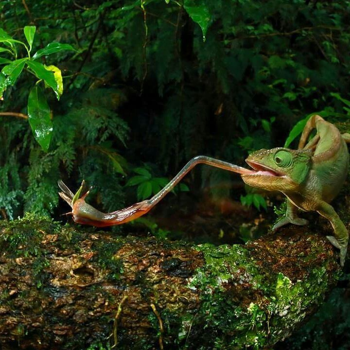 A chameleon catching a grasshopper with its sticky tongue