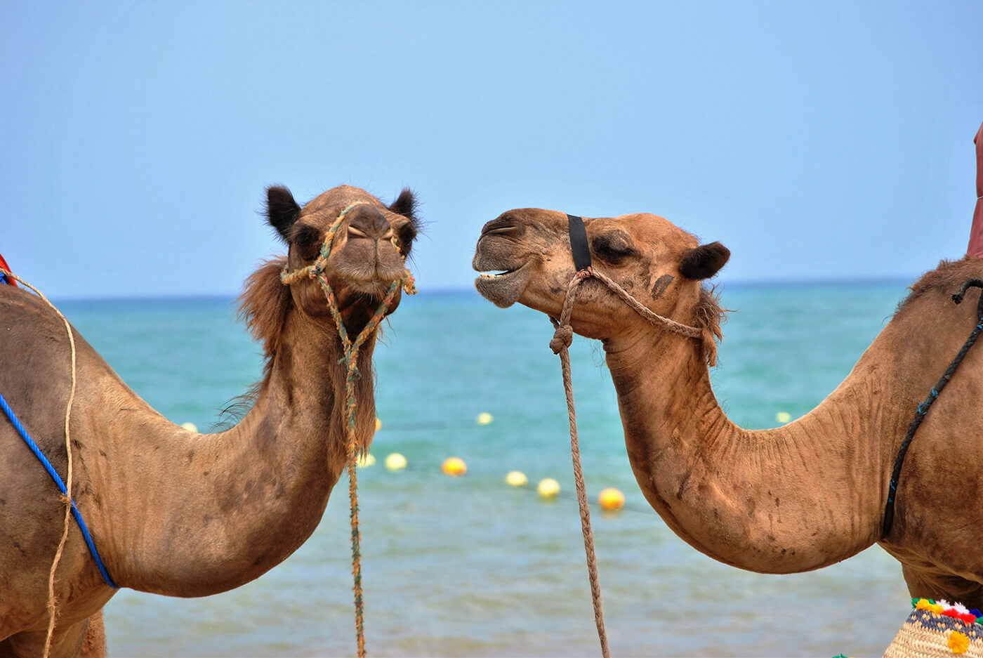 Camel friends