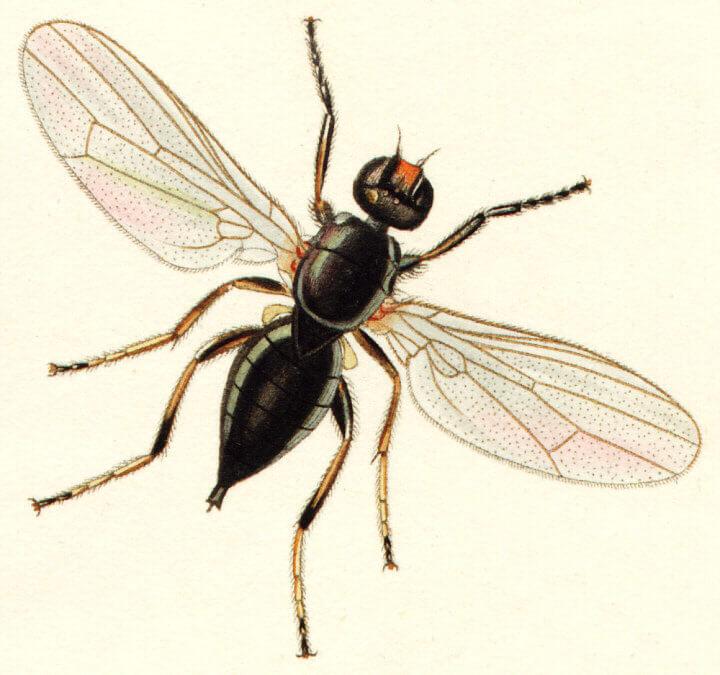 Piophila casei fly
