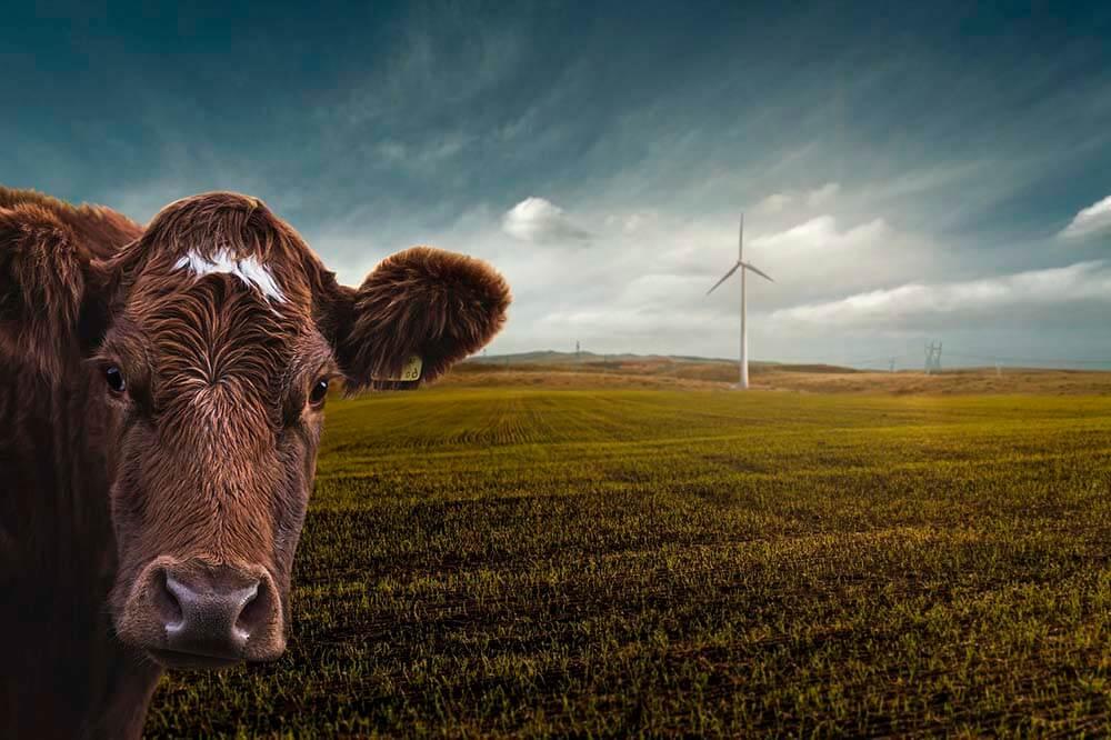 Cow windmill grass