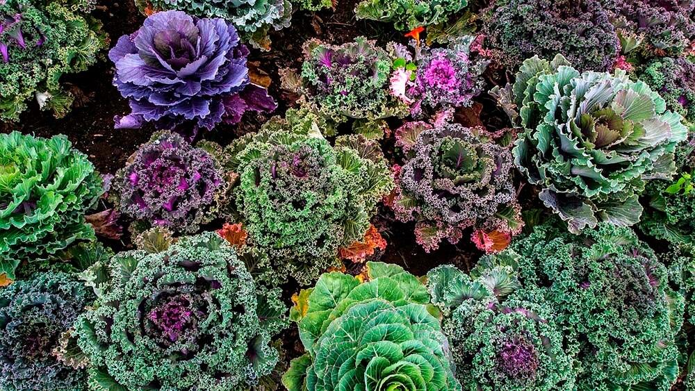 Variaties of kale