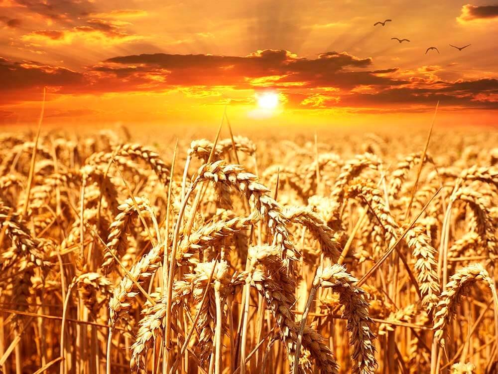 Sunny field of barley