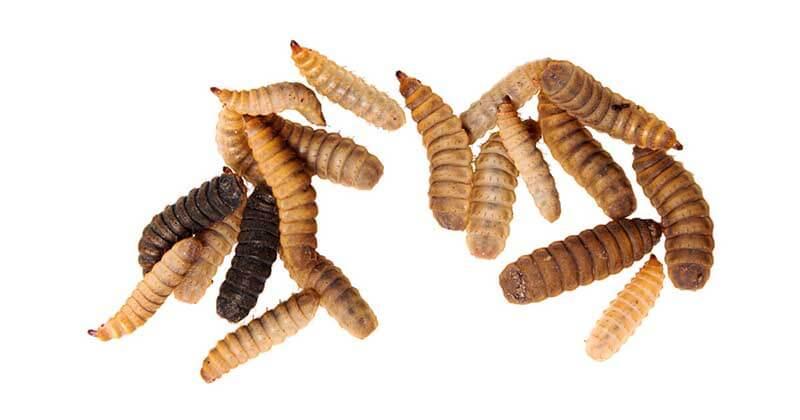 Black soldier fly larvae (BSFL) - closeup