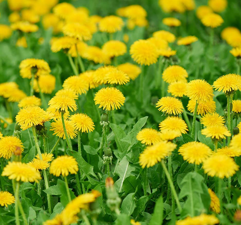 field of daffodils for preparing herbal medicine remedies