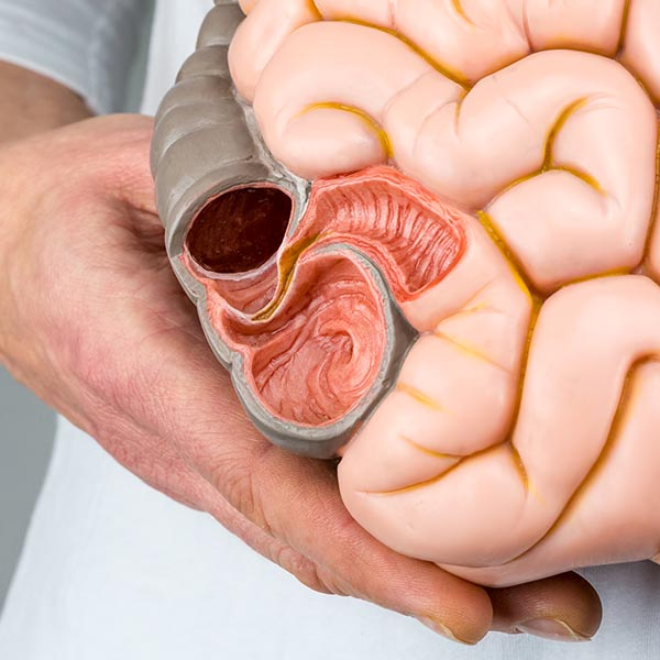 Close up of a cross section of the small intestine of a model of GUT system used in integrative medicine schools to identify parts of the gut, health and the microbiome