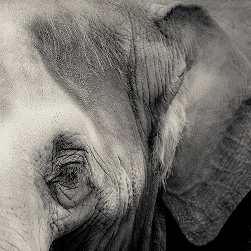 A black and white photograph portrait of an elephant.