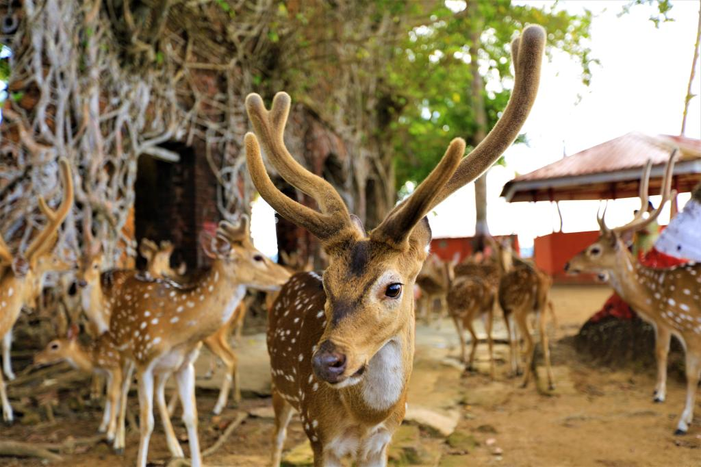 Deer Sanctuary in Ross Island, Andaman