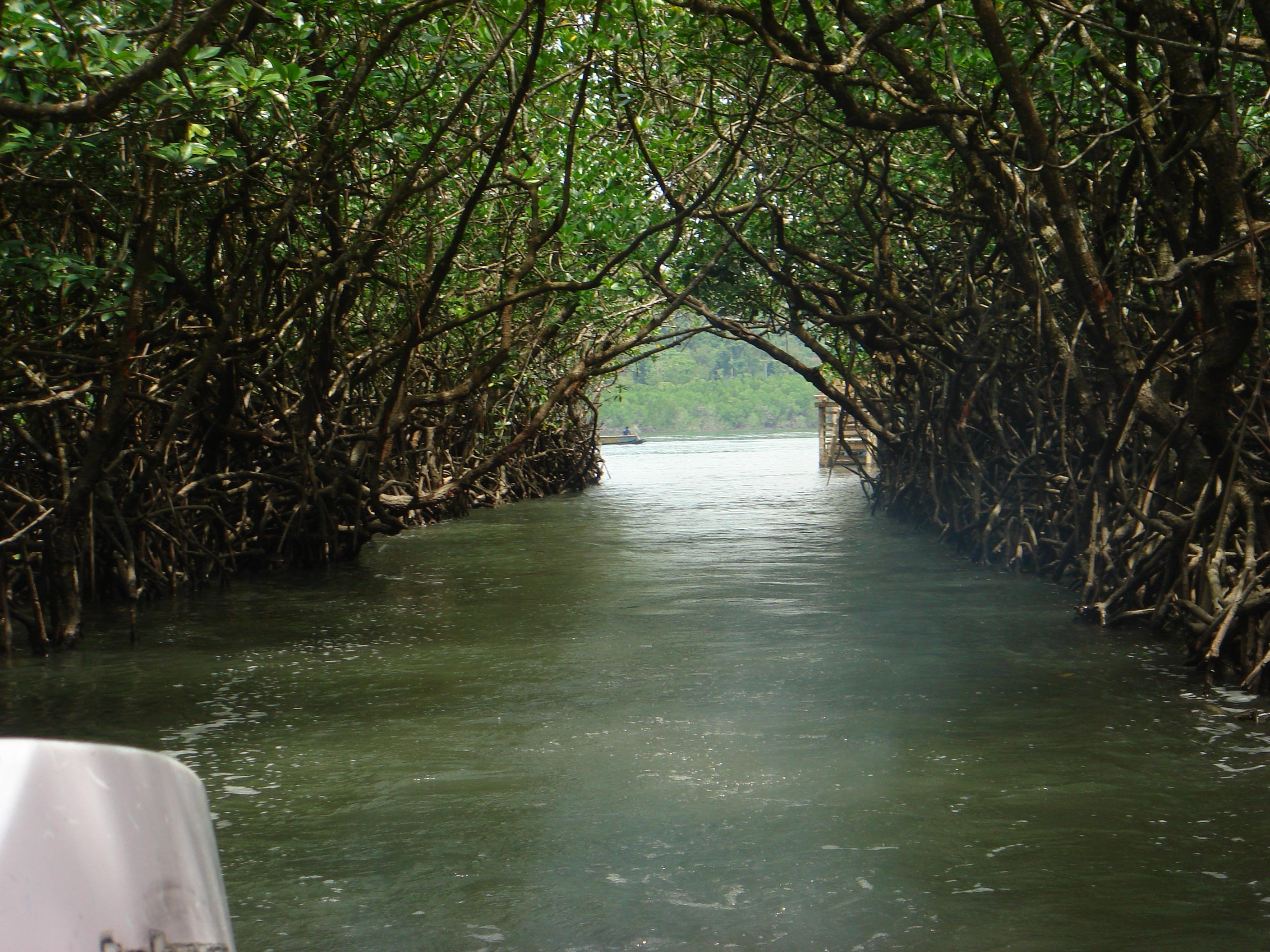 Mangroves at Baratang, Andaman Islands