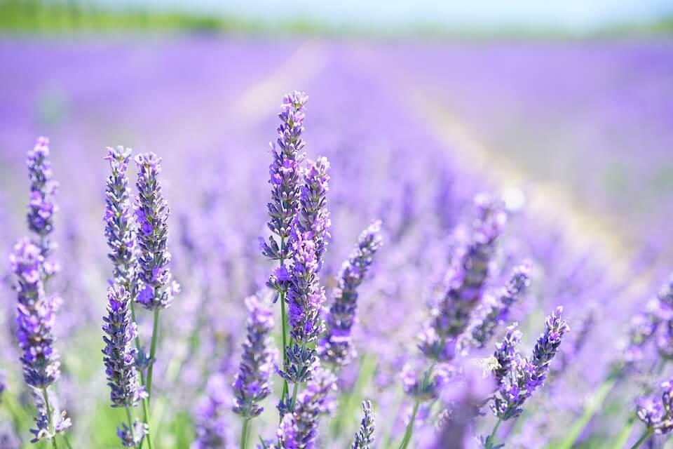lavender oil shampoo lice removal