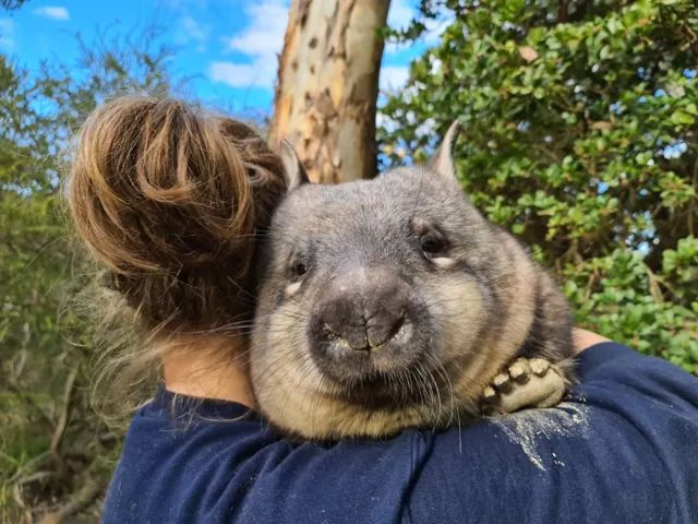 Chaos Theory adopts and visits Hope, the baby wombat at the Australian Reptile Park.