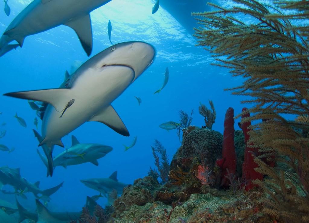 carribean reef shark 7