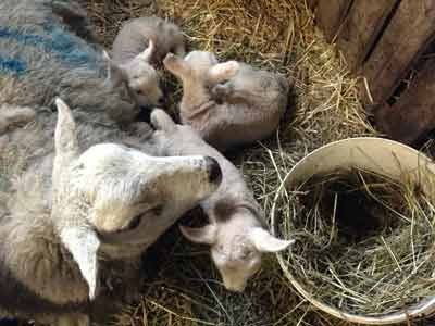 Tamsin, the hotel's massage and acupuncture therapist, is rather busy with the lambs just now!