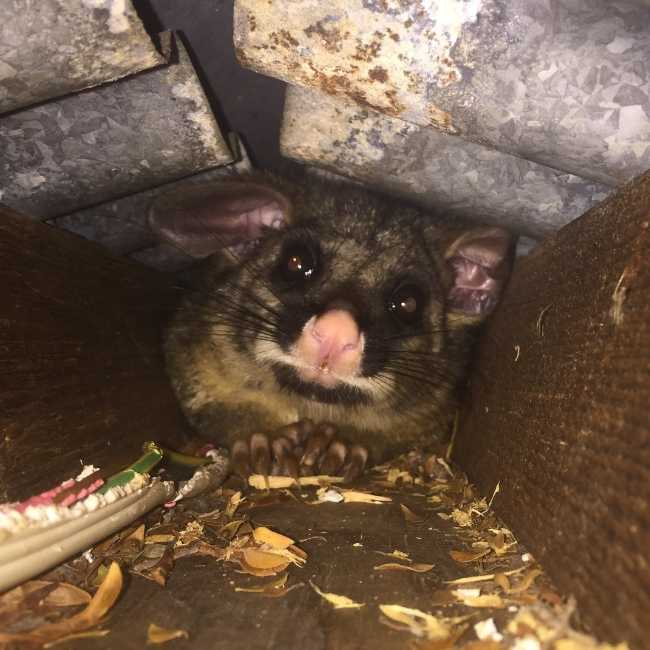 Possum chewing a cable in a roof