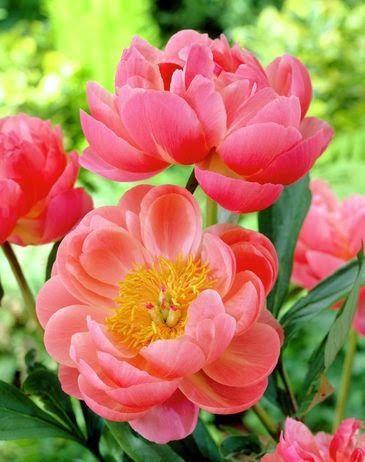 spring flowers, peonies, coral charm