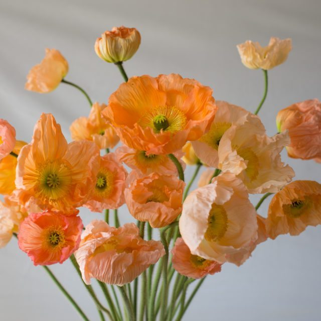 spring flowers, poppies, poppy, champagne bubbles