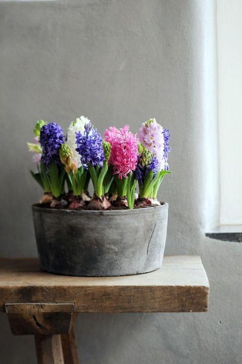hyacinth, spring flowers