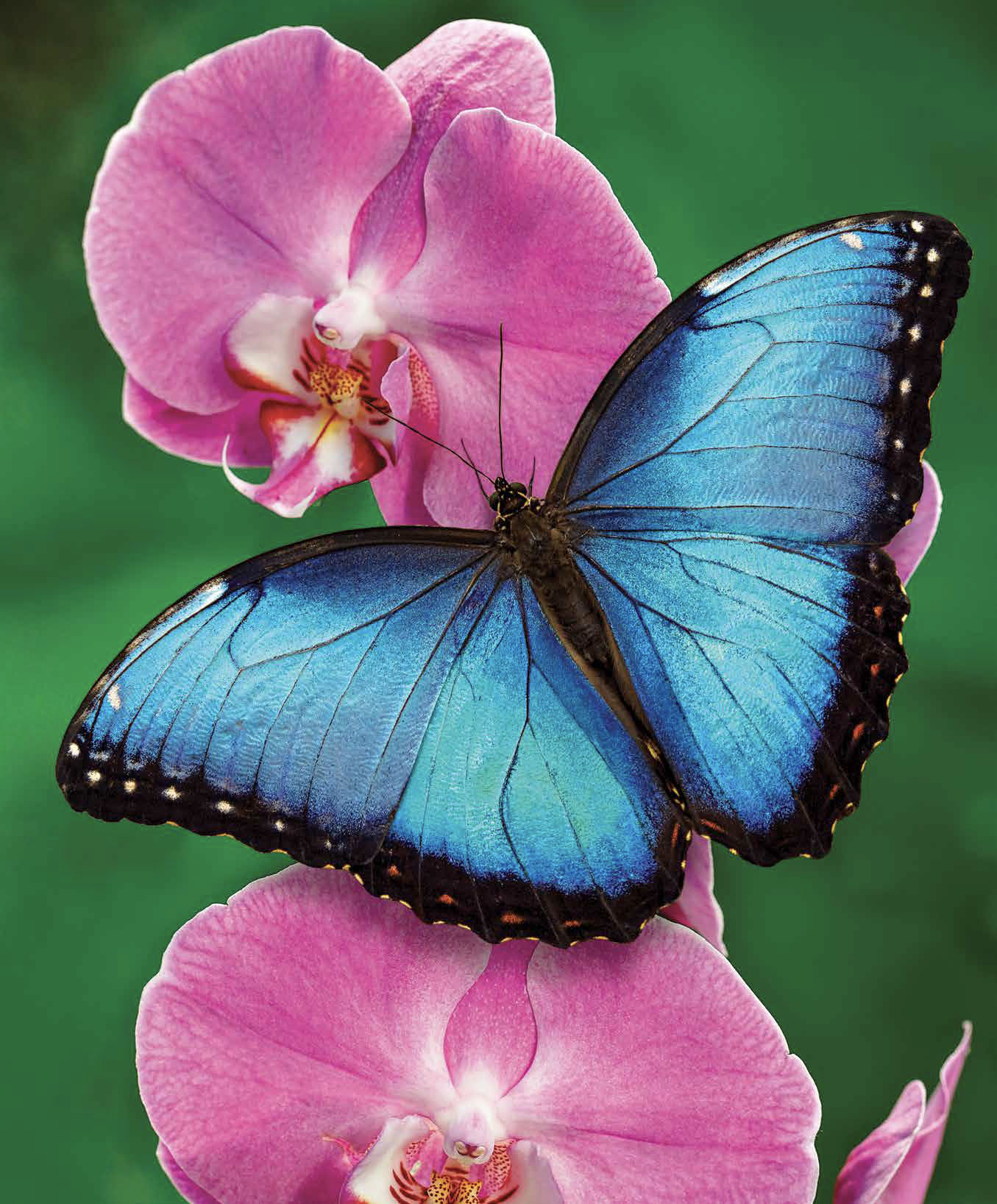 butterfly with orchid