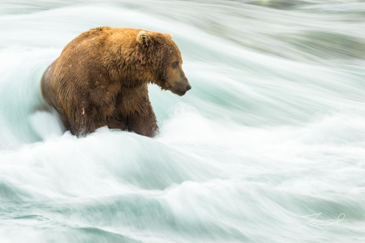 流れの速い川の中に座って鮭を探すグリズリー