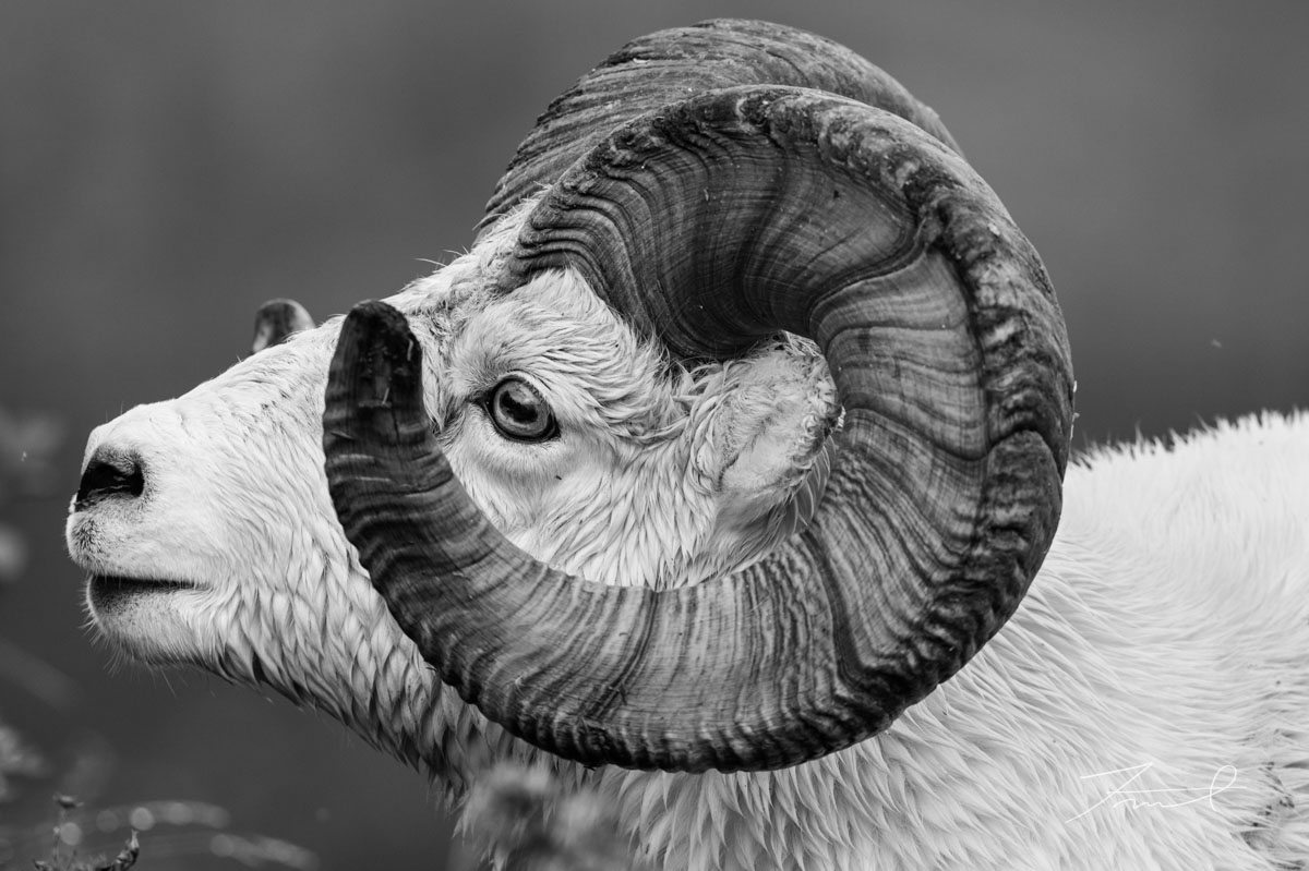 A dall sheep which has big horn face to left