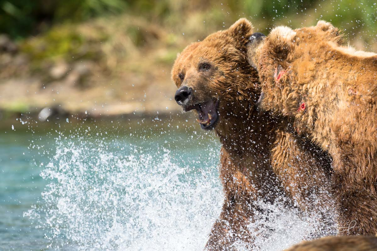 2 grizzlies are fighting in a river, splashing water. The one is bitting the other one.