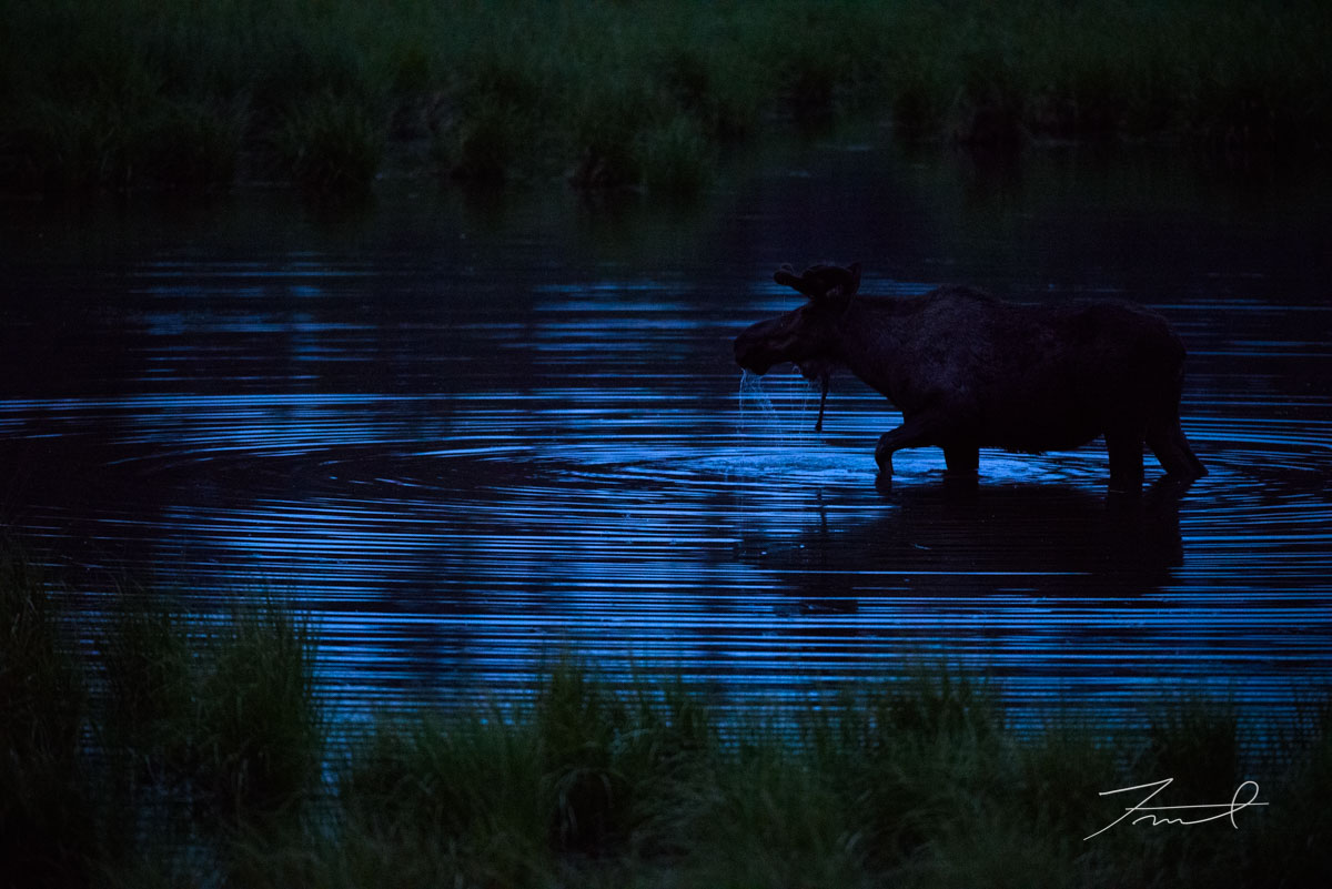 A bull moose eating water weed in a marsh area. He walk and make a ripple on the surface of the pond.
