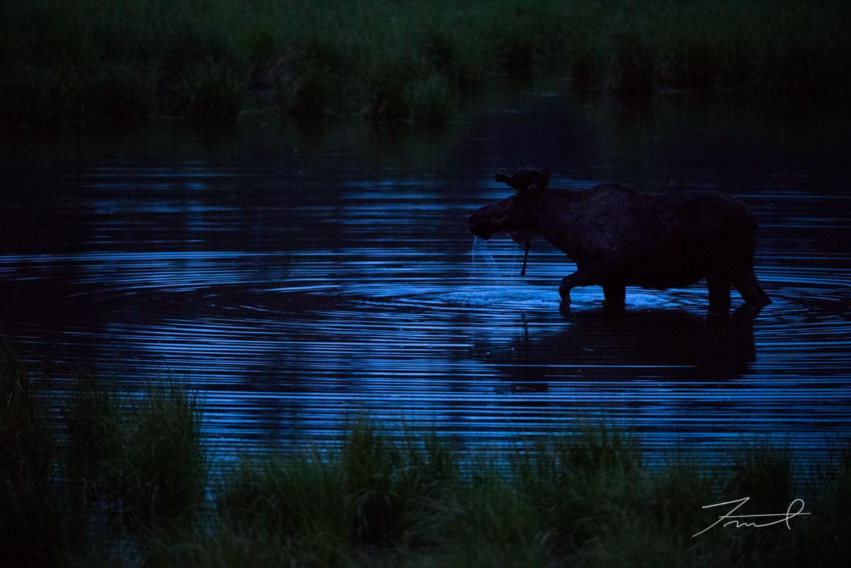 深夜の沼地で水草を食べながら歩くヘラジカが水面に波紋を作る