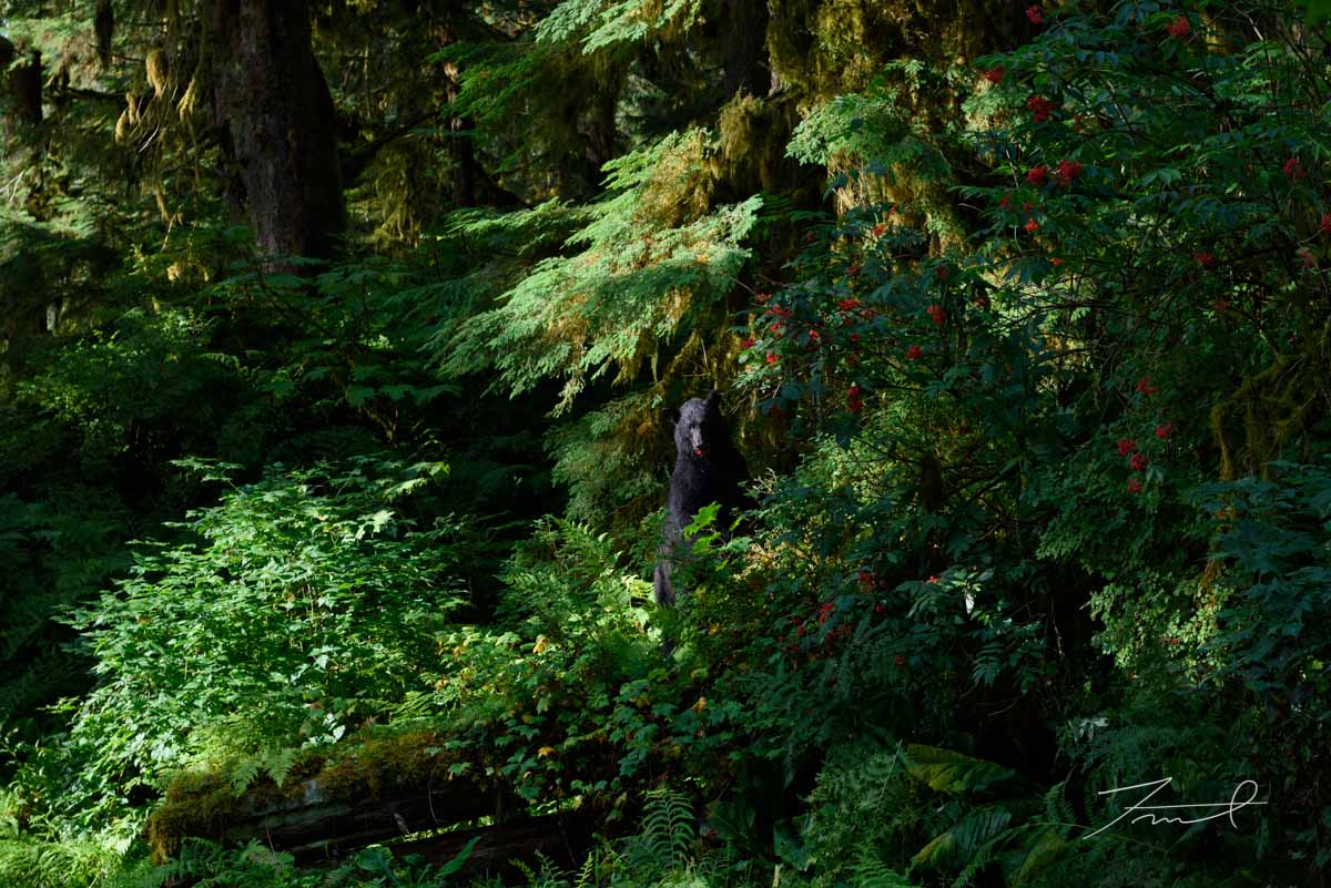 A black bear is eating a red berry in the deep dark forest