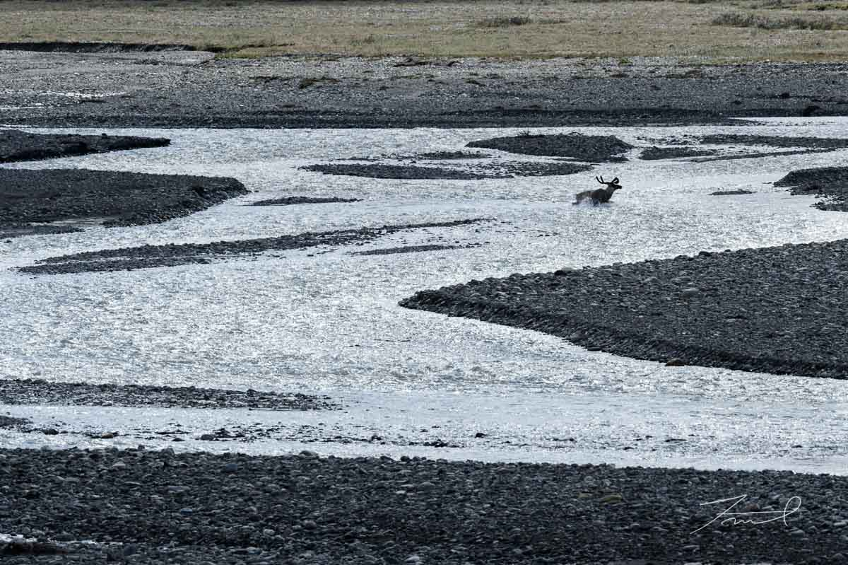 一頭のカリブーが水しぶきを上げながら川の浅瀬を渡る