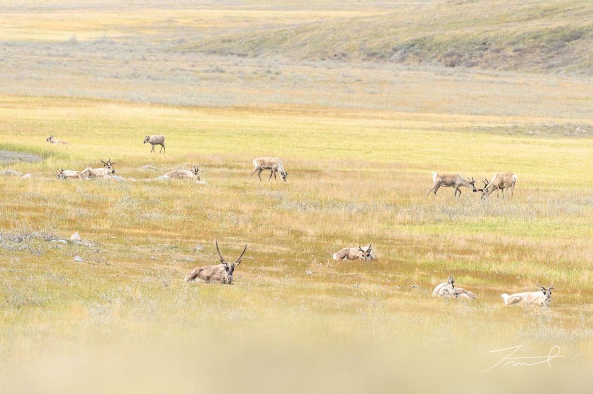 北極を目指して季節移動するカリブーが日中の草原で休息する