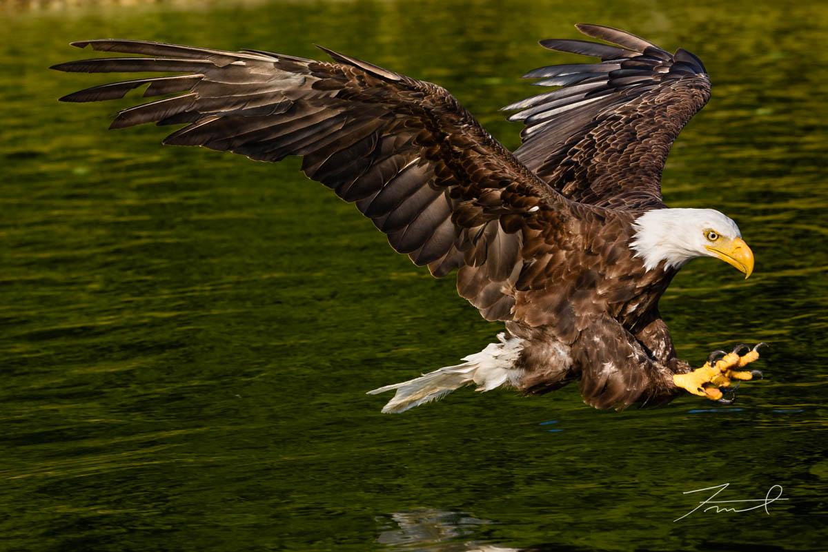 A bold eagle is diving to surface of sea for fishing